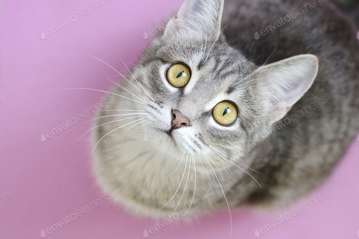 Close-up portrait of a domestic cat with yellow eyes on pink background.