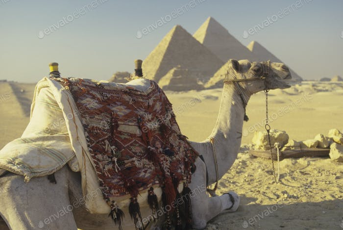 Camel and the Giza Pyramids