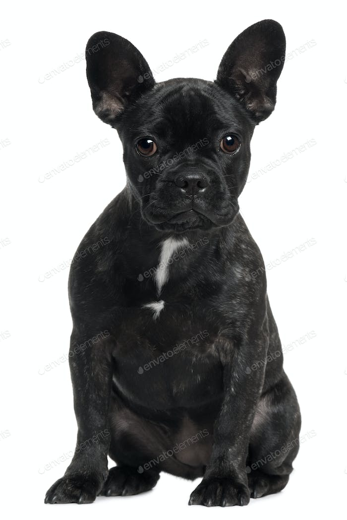 French bulldog, 4 years old, sitting in front of white background