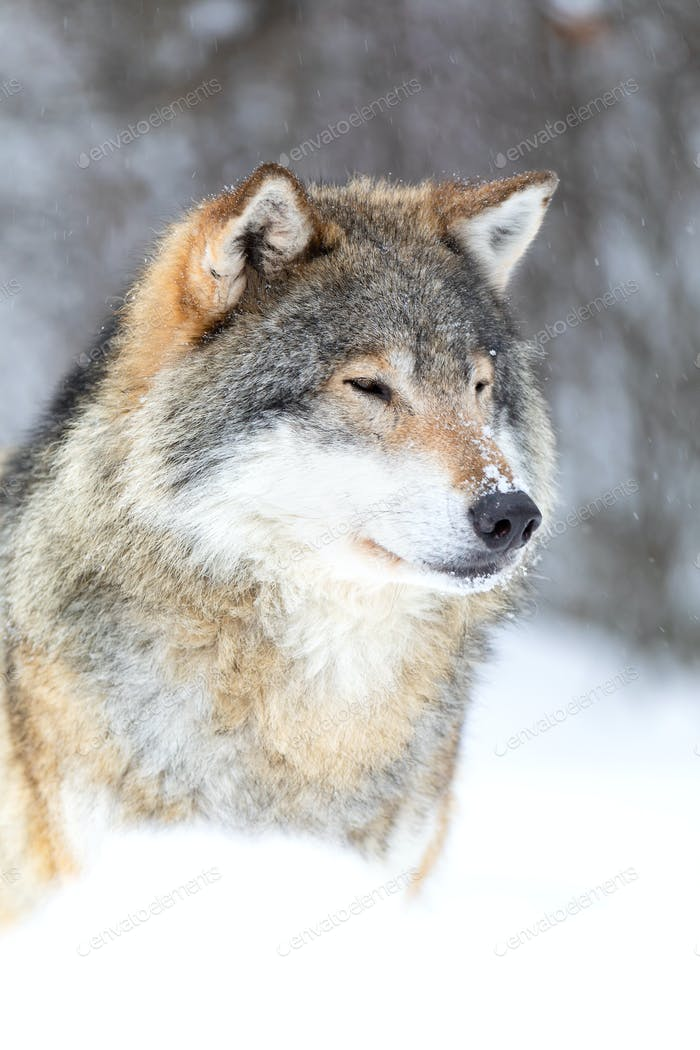Focused wolf stands in beautiful and very cold winter forest