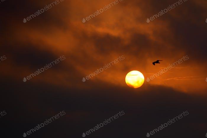 Seagull at sunset of a big sun
