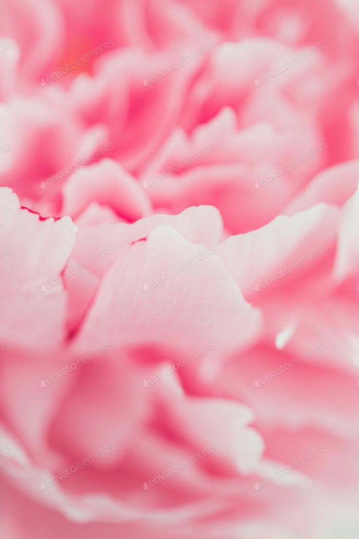 Macro photography of pink peony. The concept of Nature beauty and blossom.