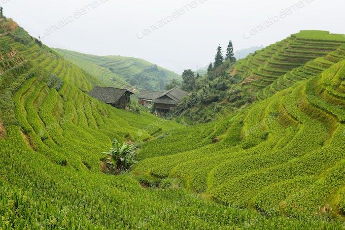 Views of green Longji terraced fields