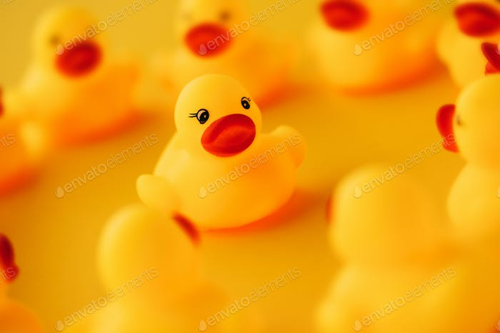 Rubber ducks in leadership concept