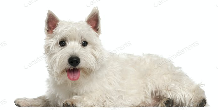 West Highland White Terrier, 10 months old, lying in front of white background
