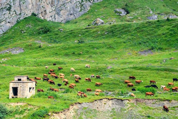 Cows graze in alpine meadows idyllic landscape