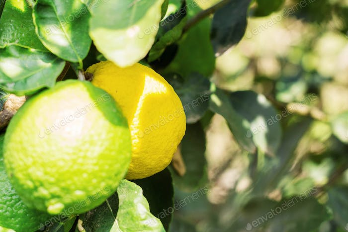 Yellow and green lemons on tree