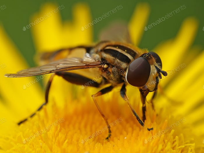 Thumbnail for Large tiger hoverfly (Helophilus trivittatus)