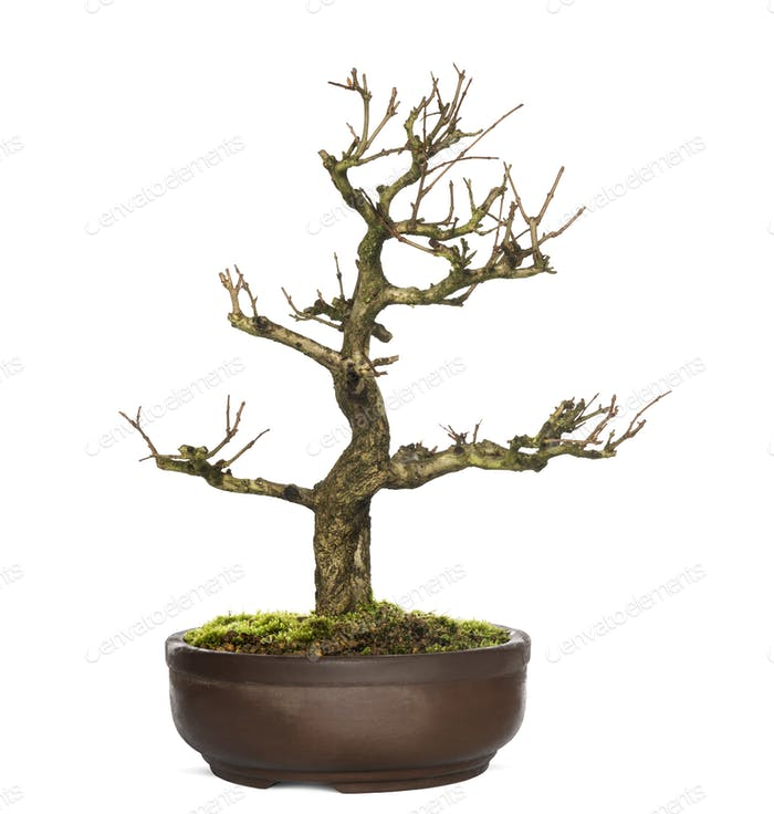 Pomegranate bonsai tree, Punica granatum, isolatedon white