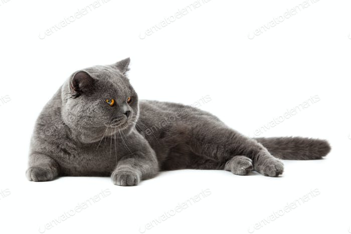Brit cat 04