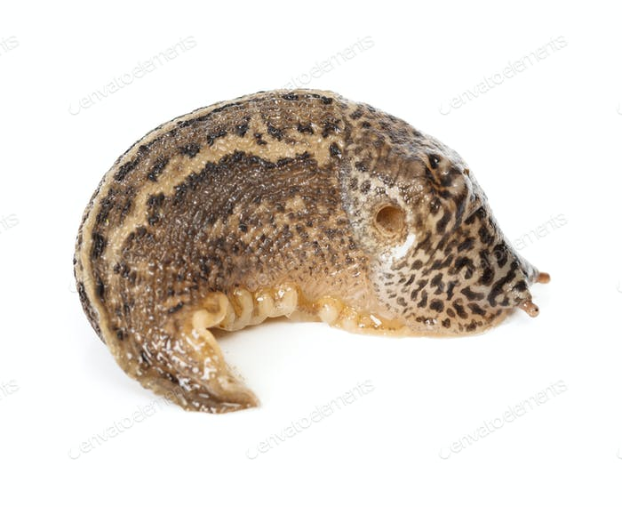 Contracted Limax maximus - leopard slug