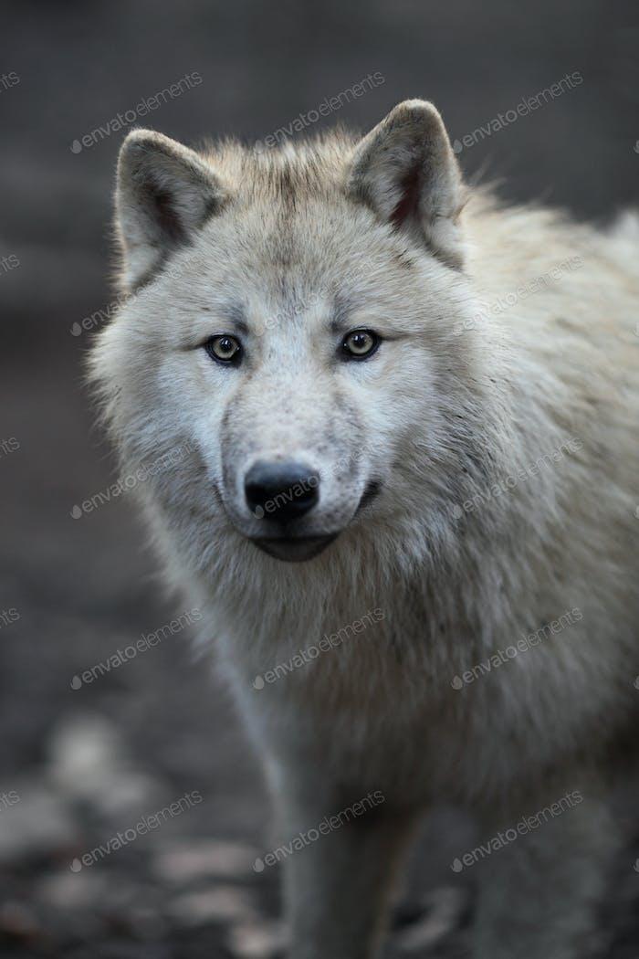 Arctic Wolf (Canis lupus arctos) aka Polar Wolf oder White Wolf -