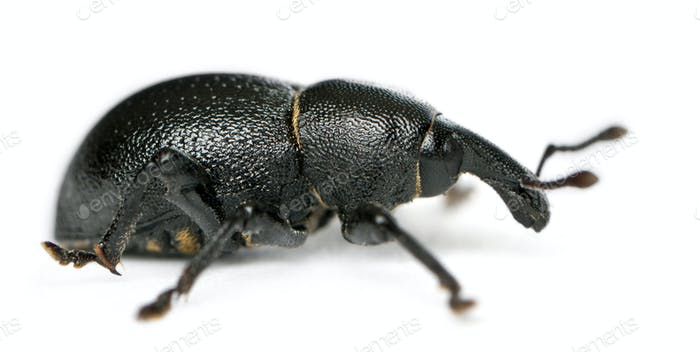 Beetle, Liparus dirus, larva in front of white background