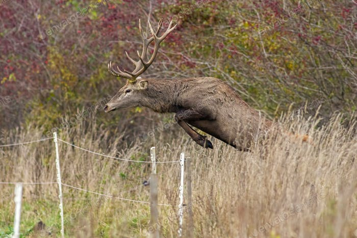 Red deer stag jumping over fence mid air