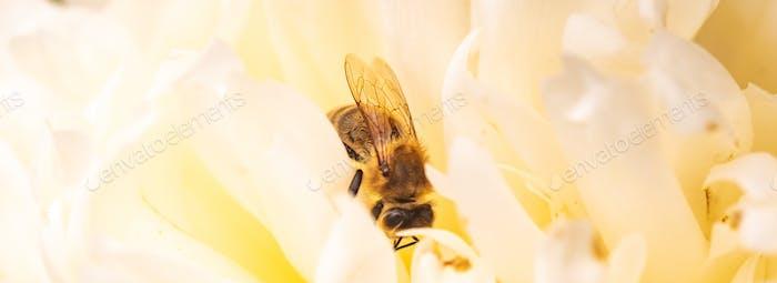 Honigbiene innen weiße gelbe Pfingstrose Blume, Nahaufnahme der Biene bei der Arbeit Polinierung der Blume