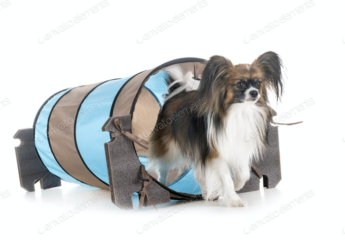papillon dog and agility