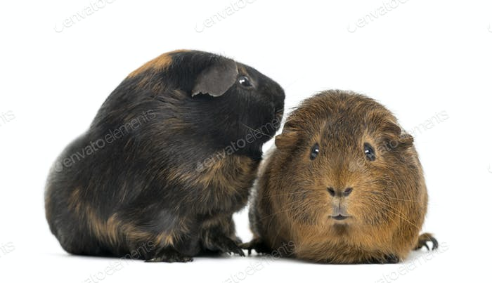 Two guinea pigs, isolated on white