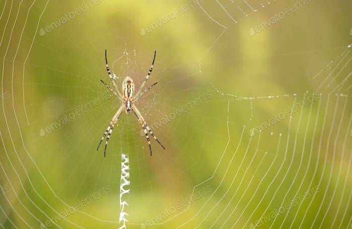 Araña sentada en la web
