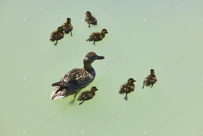 Female duck with family on a green pond. Nature background