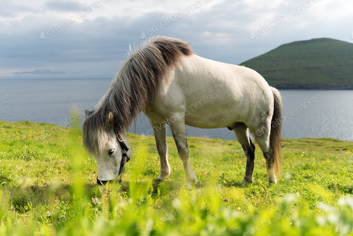 White faroese horse on green lawn