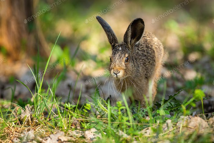 Little brown hare jumping on grass in spring nature