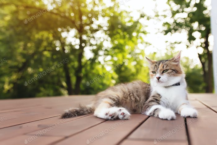 Beautiful tricolor cat lies on a brown wooden terrace