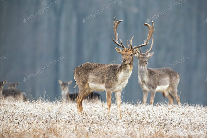 Wild fallow deer stag with antlers standing on a meadow in winter