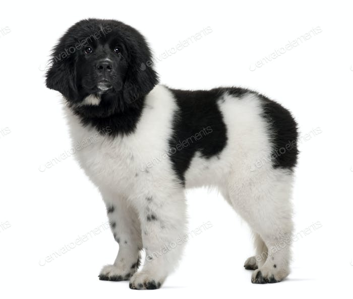 Black and white Newfoundland puppy, 5 months old, standing in front of white background