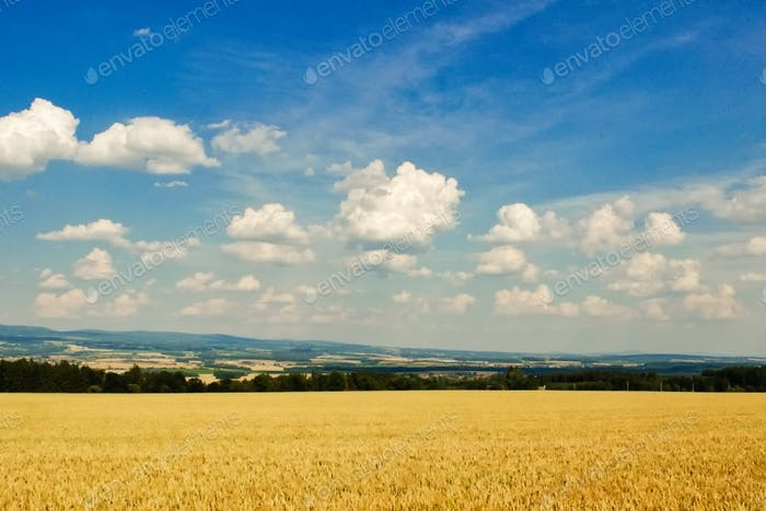 Beautiful agricultural landscape showing ripe wheat on summer day