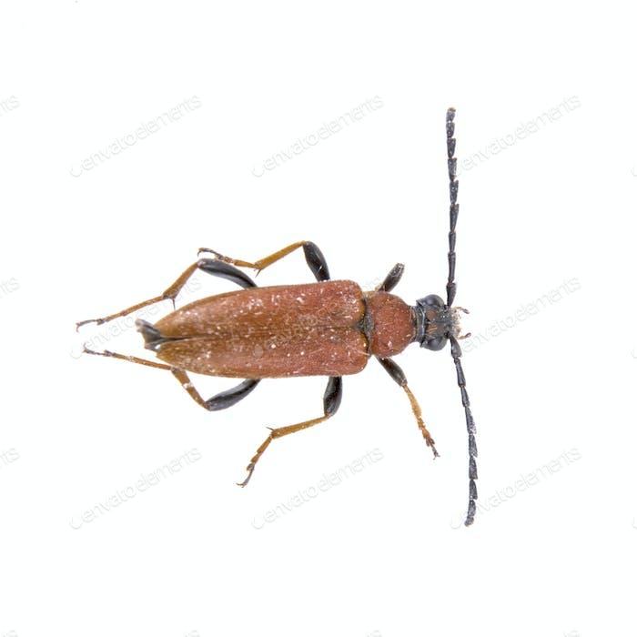 Bug marrón negro sobre un Fondo blanco