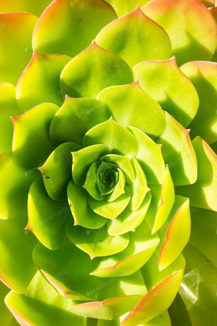 Macro photo of succulent Aeonium arboretum, California