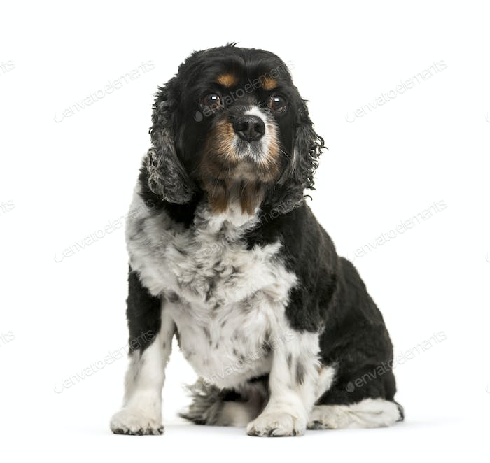 Cavalier King Charles dog, sitting, isolated