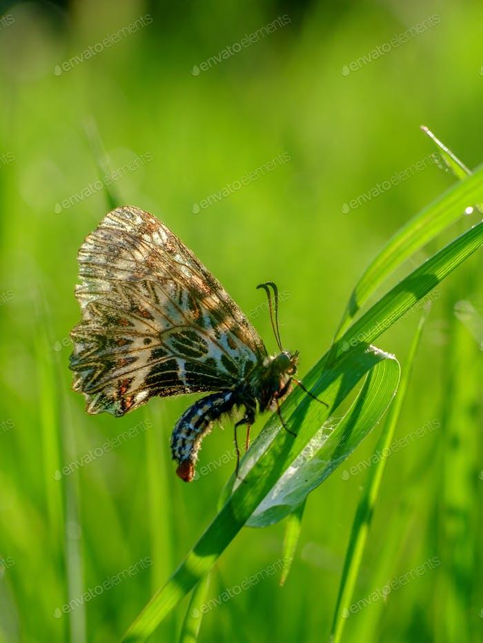 Schmetterling auf einem Gras