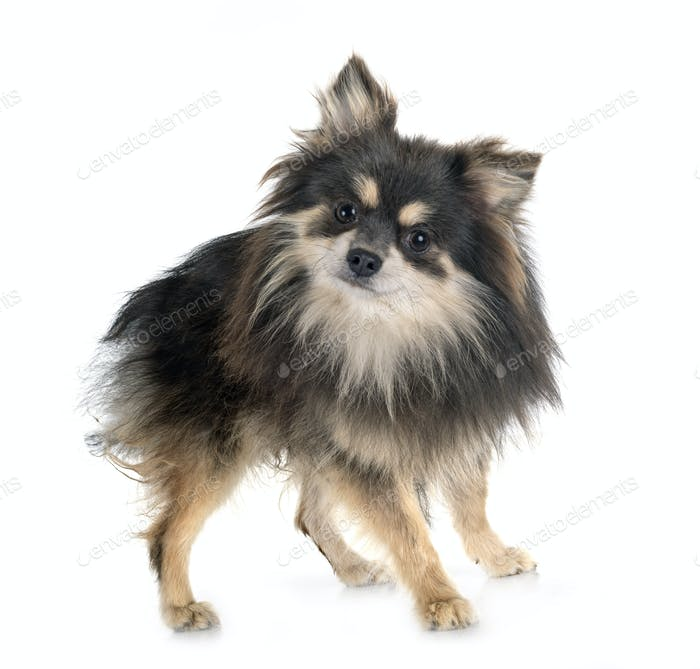 young pomeranian in studio
