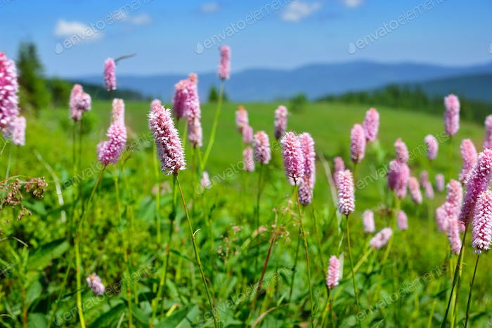 Common bistort (Persicaria bistorta) growing in the mountains