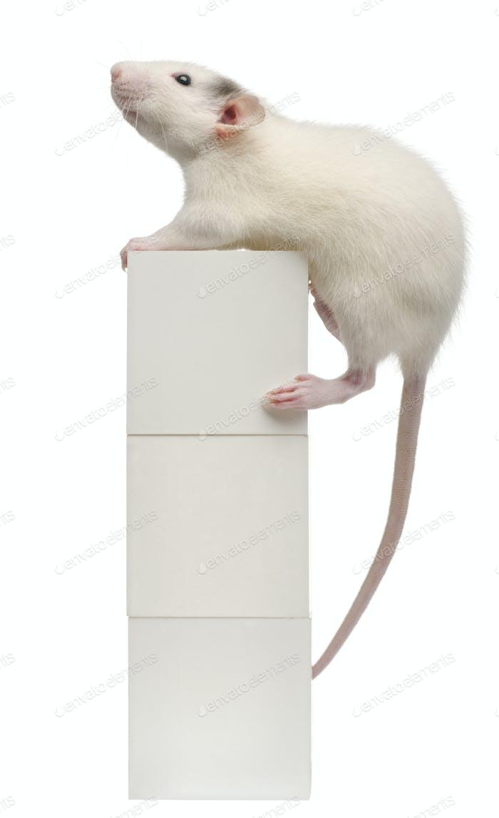 Common rat or sewer rat or wharf rat, Rattus norvegicus, 4 months old, on box,