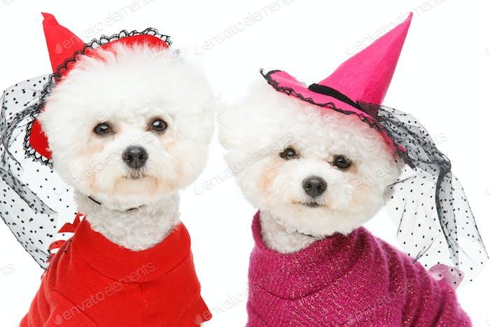 schöne Bichon Frisee Hunde
