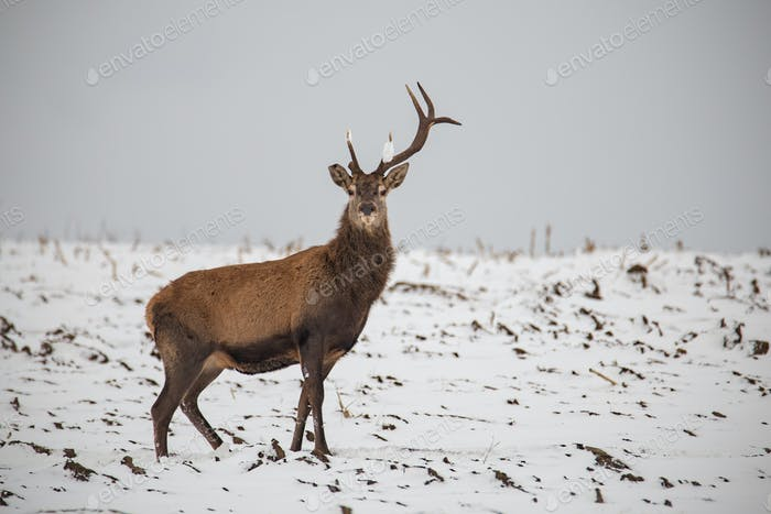 Red deer, Cervus elaphus, in winter on snow with broken antler