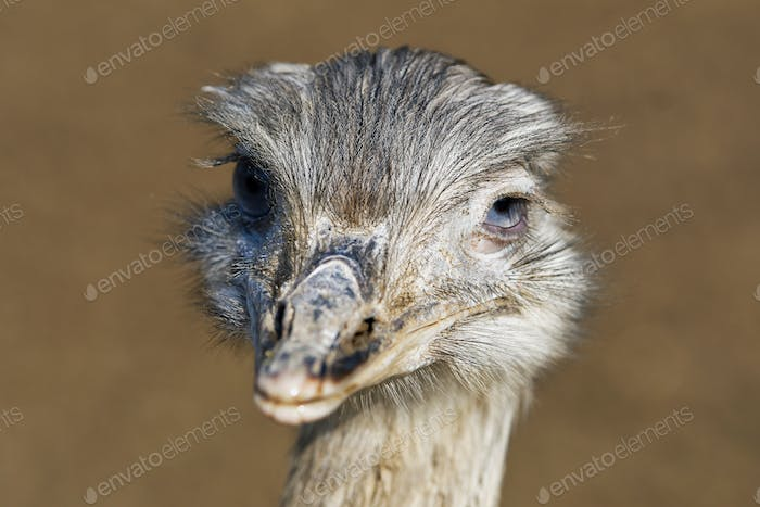 Portrait of greater rhea (Rhea americana)