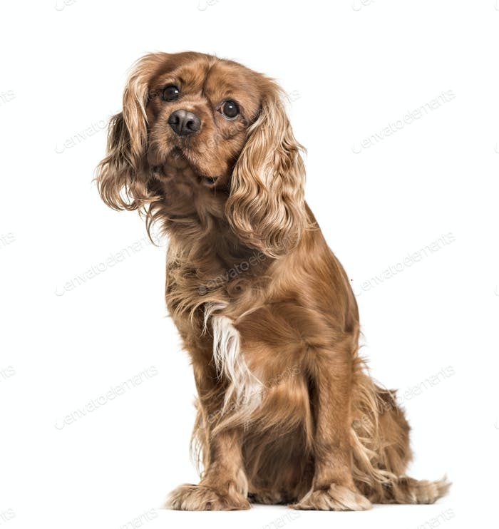 Brown cavalier King Charles Spaniel dog, sitting, isolated on white
