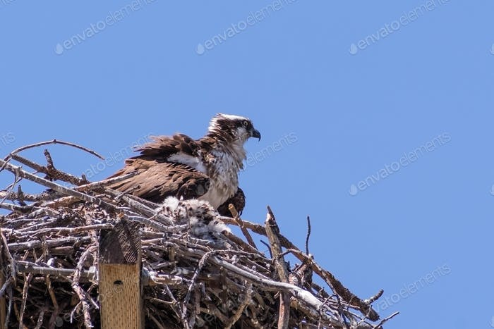 Osprey nesting on top of an old electricity pole, North California