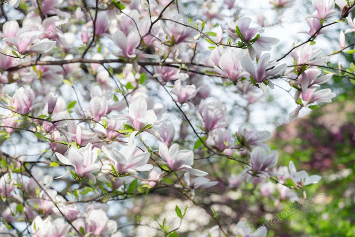 Pink magnolia flowers on spring twigs