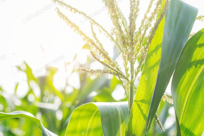 Corn tree with sunlight