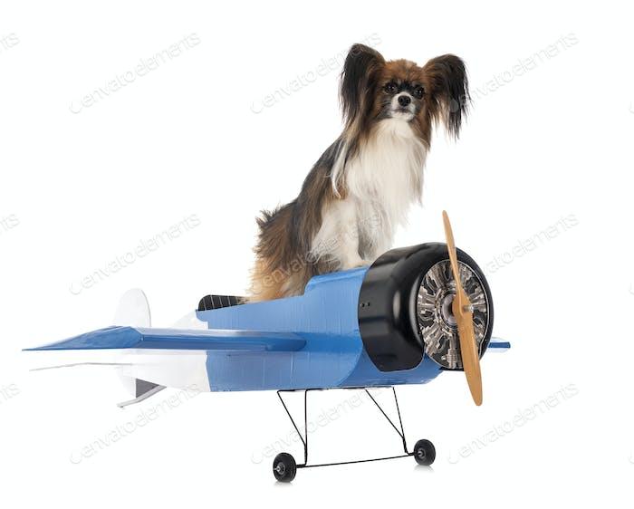 papillon dog and plane