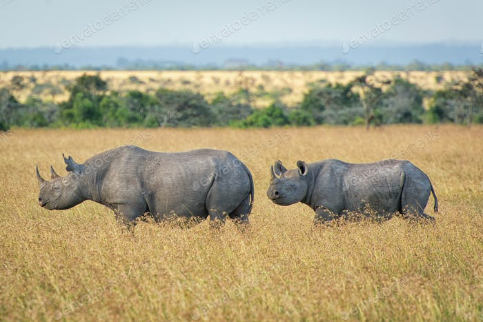 critically endangered African Black Rhinoceros in East Africa