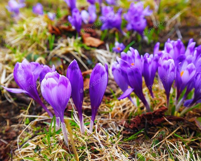 Lila Krokusblüten im Schnee erwachen im Frühjahr zu den warmen goldenen Strahlen des Sonnenlichts