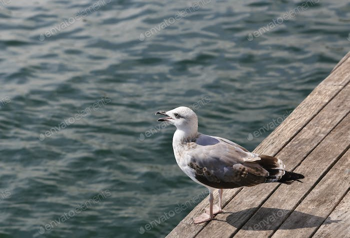 Gull standing on the wooden pier and looking at the sea