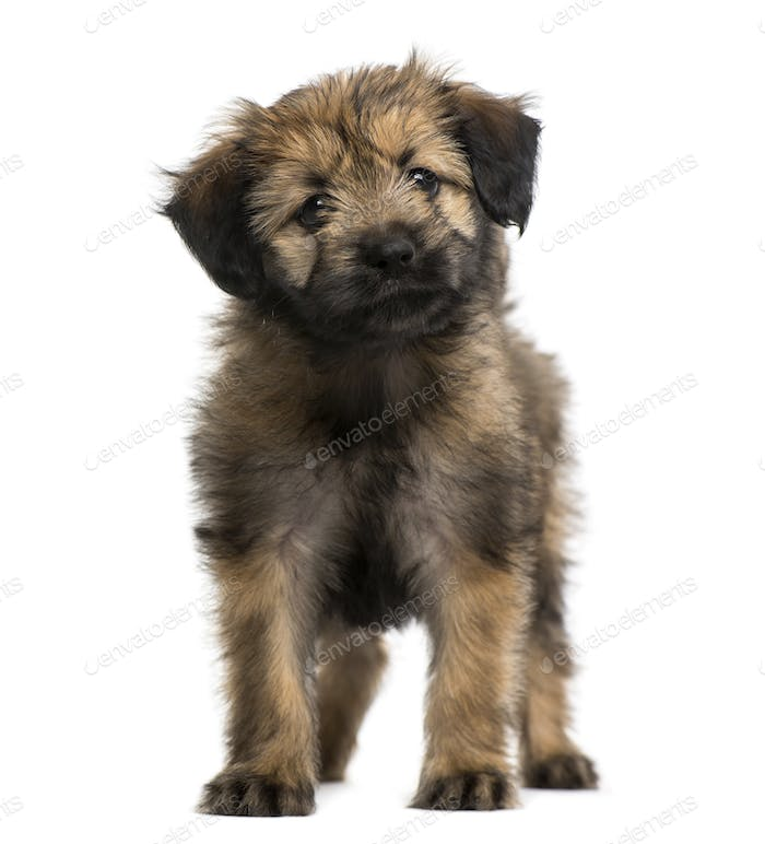 Crossbreed puppy (2 months old)
