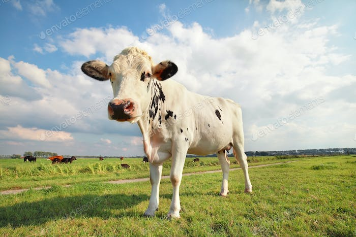 cow on green grass pasture