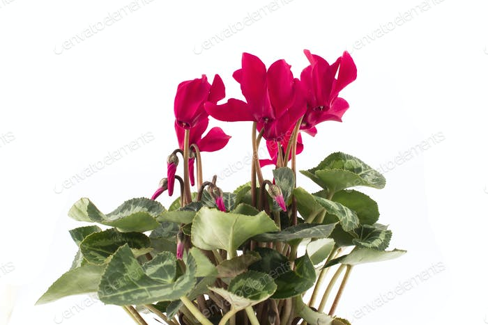 Red Cyclamen on a White Background